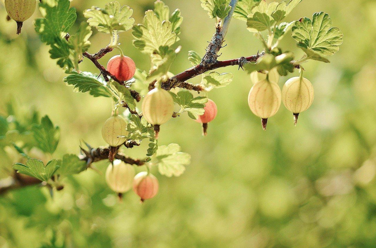 Jak dbać o krzewy owocowe?